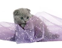 Blue Scottish Fold kitten. Royalty Free Stock Photos