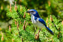 Blue Scrub Jay closeup Royalty Free Stock Photos