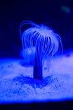Blue sea anemone in aquarium Royalty Free Stock Image