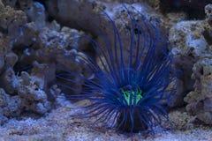 Blue sea anemone. Taken at Austin Aquarium, Austin, TX royalty free stock photos