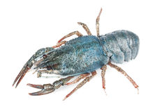 Blue sea crayfish Stock Photos