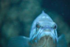 Blue sea fish