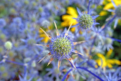 Blue Sea Holly Background. Blue Sea Holly flowers (Eryngium planum) with blurred background and a touch of yellow. Can be used as a background Royalty Free Stock Photo
