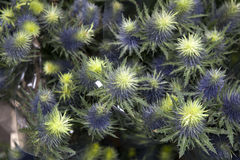 Blue Sea Holly Royalty Free Stock Images