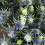 Blue Sea Holly Royalty Free Stock Photo