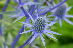 Blue Sea Holly royalty free stock image