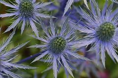 Blue Sea Holly Stock Photos