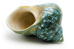Blue Sea Shell royalty free stock image
