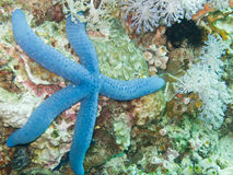 Blue Sea Star. On reef Royalty Free Stock Images