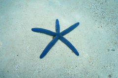 Blue sea star Linckia laevigata underwater Royalty Free Stock Photography