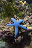 Blue sea star Linkia laevigate Stock Image