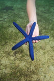 Blue sea star Stock Photos