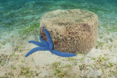 Blue sea star Stock Photos