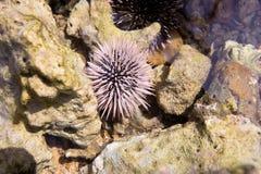 Blue sea urchin, near Manado, Sulawesi, Indonesia. The blue sea urchin, near Manado, Sulawesi, Indonesia Royalty Free Stock Image
