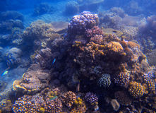 Blue sea water landscape with coral reef. Young coral formation with seaweed. Stock Photo
