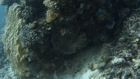 Blue seabed and yellowish coral reef. A wide shot of the blue seabed. Tracking shot to the yellowish coral reef stock footage