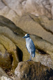 Blue seabird on rocks Royalty Free Stock Image
