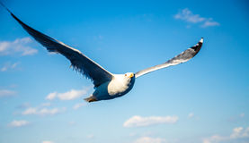 Blue seagull Royalty Free Stock Images