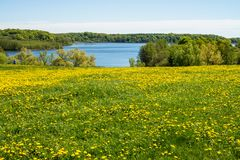 Blue sealake and yellow flowers. Buttercups have a dropping meadow covered stock images