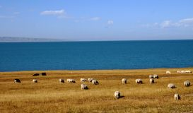 Blue see with sheeps. In autumn Royalty Free Stock Image