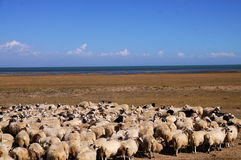 Blue see with sheeps. In Qinghai lake China, there are so many sheeps Stock Photo