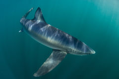 Blue Shark in Atlantic Ocean. A blue shark (Prionace glauca) cruises through the cold waters of the Atlantic Ocean. These sleek predators grow to over 10 feet in Stock Images