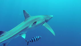 Blue shark stock footage
