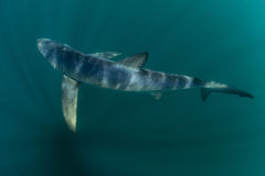 Blue Shark in Dark Waters of the Atlantic Ocean. A blue shark (Prionace glauca) cruises through the cold waters of the Atlantic Ocean. These sleek predators grow royalty free stock image