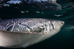 Blue Shark in Dark Waters. A blue shark (Prionace glauca) cruises through the dark waters of the Atlantic Ocean. These sleek predators grow to over 10 feet in Stock Photos