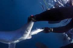 Blue Shark Stock Photography