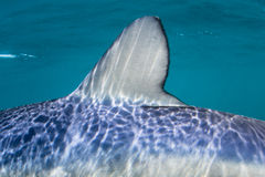 Blue Shark Dorsal Fin Underwater Stock Photography