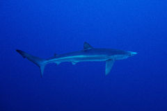 Blue shark (Prionace glauca) Stock Photos