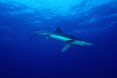 Blue shark (Prionace glauca) Stock Image