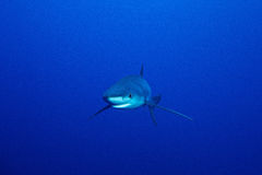 Blue shark (Prionace glauca) Royalty Free Stock Photo
