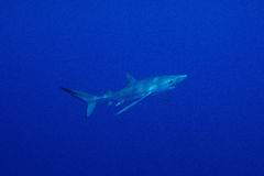 Blue shark (Prionace glauca) Stock Images