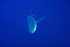 Blue shark (Prionace glauca). Pico Island, Azores Archipelago royalty free stock photos