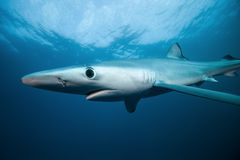 Blue shark, prionace glauca, South Africa. Diving with the shark, dangerous dive, African coastline, scuba diving in Africa, Blue shark in South Africa Royalty Free Stock Photos