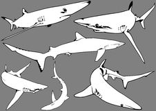 Blue Shark Set. Blue Shark (Prionace glauca) - Illustration, Vector Royalty Free Stock Photography