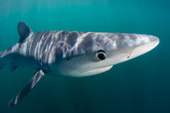 Blue Shark in Sunlit Waters. A blue shark (Prionace glauca) cruises through the sunlit waters of the Atlantic Ocean. These sleek predators grow to over 10 feet Stock Photos