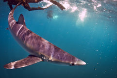 Blue Shark Royalty Free Stock Photography