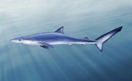 Blue shark, tintorera Royalty Free Stock Photo