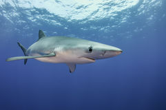 Blue Shark. Underwater vew of a blue shark at the dive site Azores Banks, Pico Island, Azores, Portugal Royalty Free Stock Photography