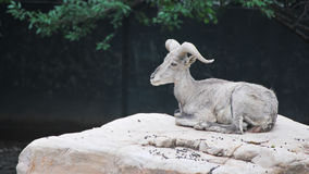 Blue sheep. In shanhai zoo Stock Image