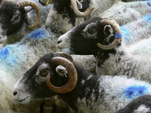 Blue sheep heads. Sheep heads with blue spots in the neck Royalty Free Stock Images