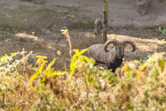 Blue Sheep with shrub in the foreground that live in Padmaja Naidu Himalayan Zoological Park at Darjeeling, India.  Royalty Free Stock Photos