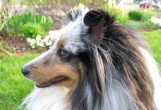 Blue Sheltie 3. Shetland Sheepdog Profile royalty free stock images
