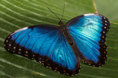 Blue Shimmer. Close up of the Blue Morpho Butterfly Royalty Free Stock Photos