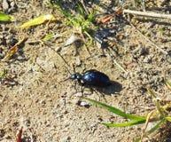 Blue shining bug, Lithuania Royalty Free Stock Images