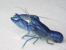 blue shrimp Cherax Destructor Stock Image