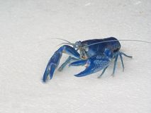 Blue shrimp Cherax Destructor Royalty Free Stock Image
